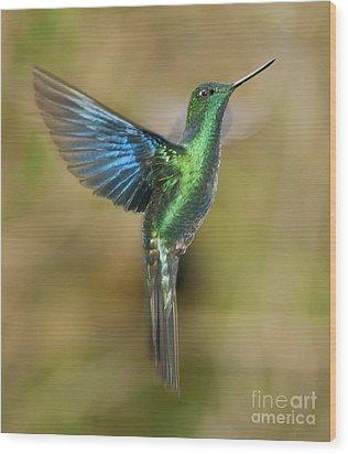 Great Sapphirewing Hummingbird Wood Print by Dan Suzio