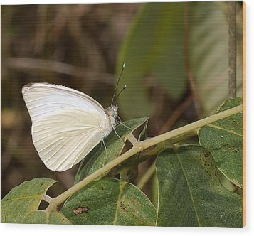 Great Southern White Butterfly Wood Print by Rudy Umans