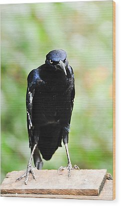 Great Tailed Grackle Wood Print by Bonnie Fink