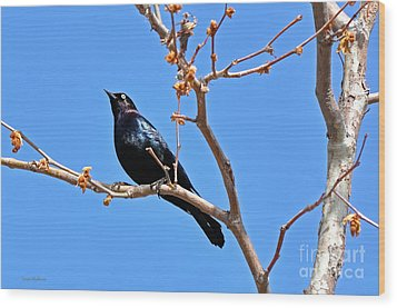 Great-tailed Grackle On A Sunny Spring Day Wood Print by Susan Wiedmann