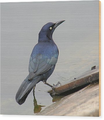 Wood Print featuring the photograph Great-tailed Grackle Posing by Bob and Jan Shriner