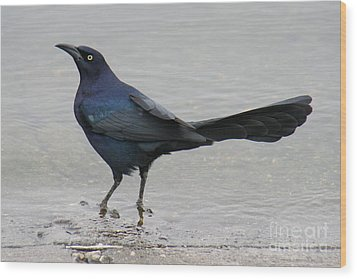 Wood Print featuring the photograph Great-tailed Grackle Wading by Bob and Jan Shriner
