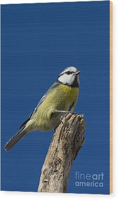 Great Tit On Blue Wood Print by Maurizio Bacciarini