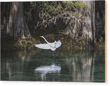 Great White Heron In Flight Wood Print by Charles Warren