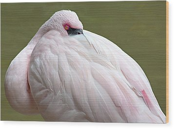 Greater Flamingo Wood Print by A Gurmankin