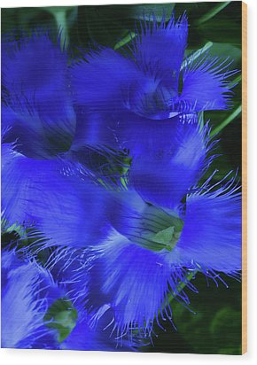 Wood Print featuring the photograph Greater Fringed Blue Gentian by Gregory Scott