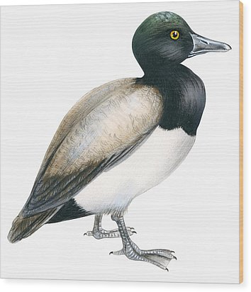 Greater Scaup Wood Print by Anonymous