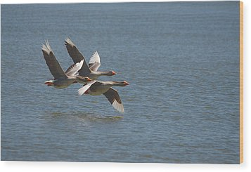 Greater White-fronted Geese In Flight Series 4 Wood Print