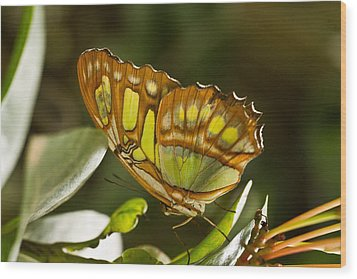 Green And Brown Tropical Butterfly Wood Print