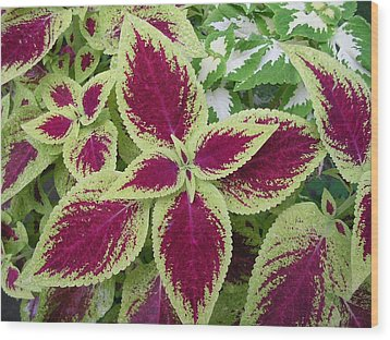 Green And Purple Coleus Wood Print by Dusty Reed
