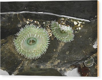Green Anemones Wood Print by Steven A Bash