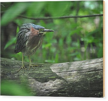 Green Backed Heron At The Swamp Wood Print by Rebecca Sherman