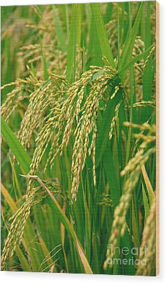 Green Beautiful Rice Farming Wood Print by Boon Mee