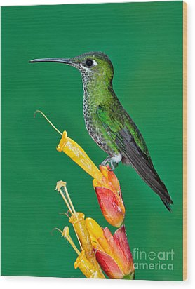 Green-crowned Brilliant Wood Print by Anthony Mercieca