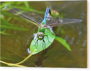 Green Darner Dragonfly Wood Print by Christina Rollo