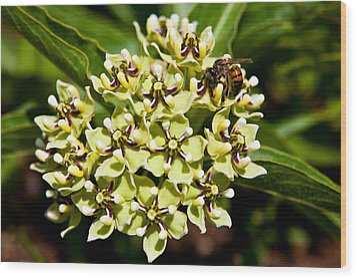Green Flowered Milkweed Wood Print by Mark Weaver