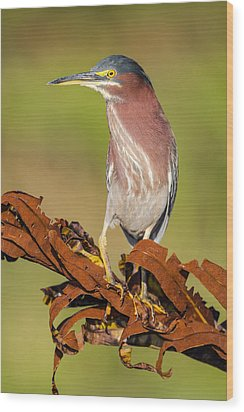 Green Heron Wood Print by Andres Leon