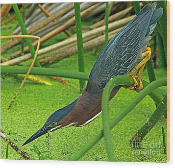 Green Heron The Stretch Wood Print by Larry Nieland