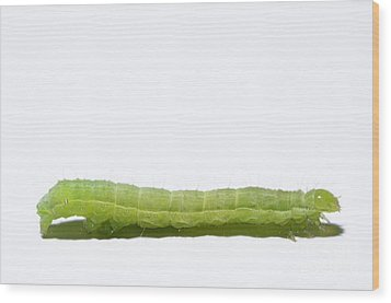 Green Inchworm On White Background Wood Print by Sami Sarkis