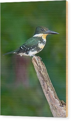 Green Kingfisher Chloroceryle Wood Print by Panoramic Images
