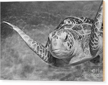 Green Sea Turtle. Wood Print by Jamie Pham