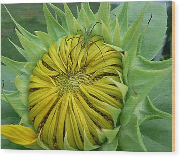 Green Spider On A Sunflower Wood Print by MM Anderson