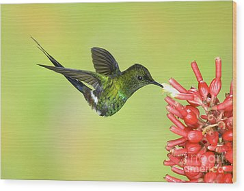 Green Thorntail Hummingbird Wood Print by Anthony Mercieca