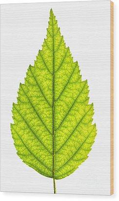 Green Tree Leaf Wood Print by Elena Elisseeva