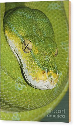 Wood Print featuring the photograph Green Tree Python #2 by Judy Whitton