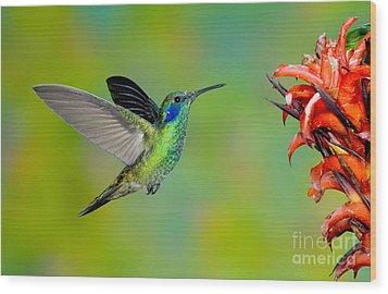 Green Violet-ear Hummingbird Wood Print by Anthony Mercieca
