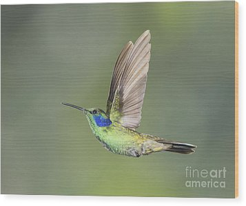 Wood Print featuring the photograph Green Violet-ear Hummingbird by Dan Suzio