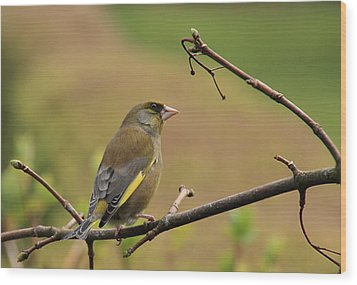 Greenfinch Wood Print by Peter Skelton