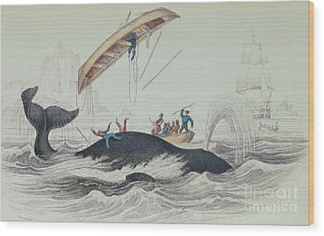 Greenland Whale Book Illustration Engraved By William Home Lizars  Wood Print by James Stewart