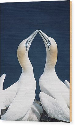 Greeting Gannets Canada Wood Print