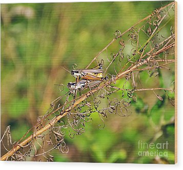 Gregarious Grasshoppers Wood Print by Al Powell Photography USA