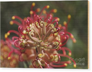 Grevillea Superb Australian Flora Wood Print by Joy Watson