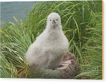 Grey-headed Albatross Chick Wood Print