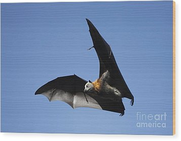 Grey Headed Flying Fox Wood Print by Craig Dingle