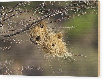 Grey-headed Social-weaver Nests Tanzania Wood Print by Konrad Wothe