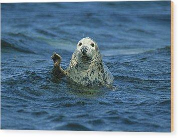 Grey Seal Waving Wood Print by Martin Woike