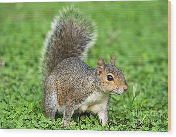 Wood Print featuring the photograph Grey Squirrel by Antonio Scarpi