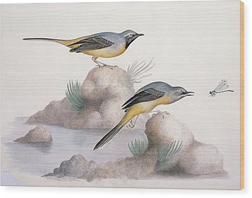 Grey Wagtail, 19th Century Wood Print by Science Photo Library
