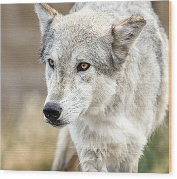 Wood Print featuring the photograph Grey Wolf Eyes by Yeates Photography