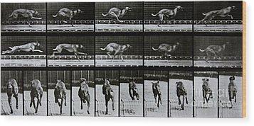 Greyhound Running Wood Print by Eadweard Muybridge