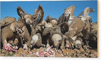 Griffon Vultures Feeding Wood Print