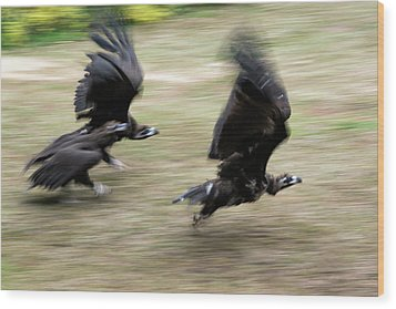Griffon Vultures Taking Off Wood Print by Pan Xunbin