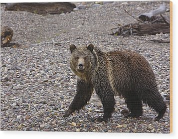 Grizzly Bear Wood Print by Charles Warren