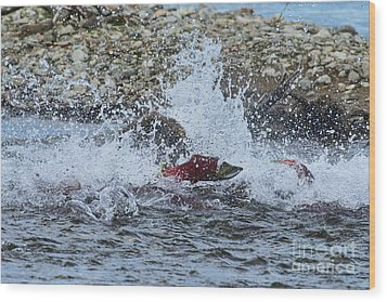 Brown Bear Chasing Salmon While Salmon Jump To Escape Wood Print by Dan Friend