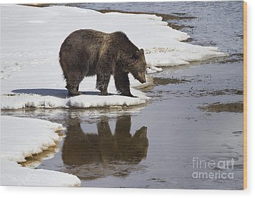 Grizzly Bear Reflected In Water Wood Print by Mike Cavaroc