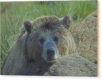 Grizzly Bear Resting Wood Print by Garry Gay